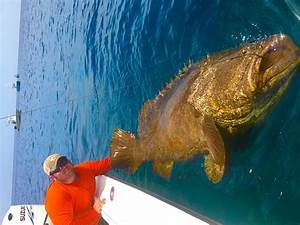 Hutchinson Island Goliath Grouper ft. Chew On This - YouTube