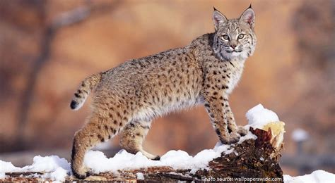 Interesting Facts About Bobcats  Just Fun Facts