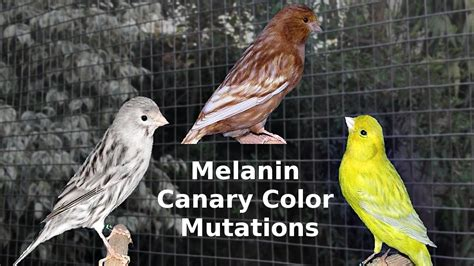canary color melanin canary color mutations