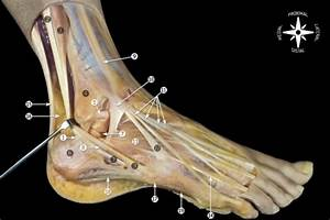 Anatomic dissection showing the relationship of the cal ...  Calcaneofibular