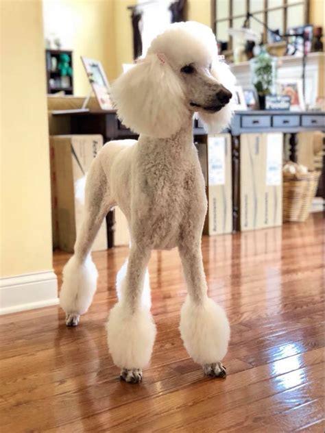 moonstone poodles
