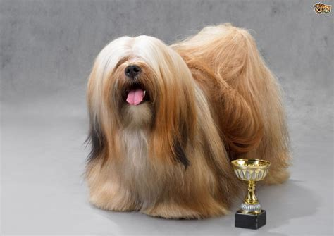 Non Shedding Small Dogs Uk by Lhasa Apso Dog Breed Information Buying Advice Photos