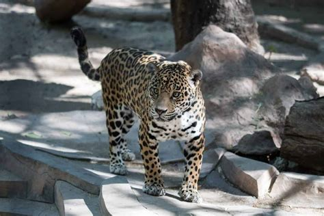 Jaguar cub with burned legs rescued from fires in Brazil