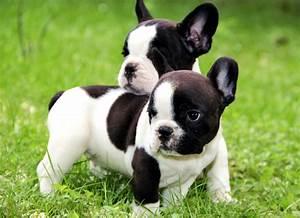 Hundebekleidung Französische Bulldogge : tiere kleinanzeigen ~ Frokenaadalensverden.com Haus und Dekorationen