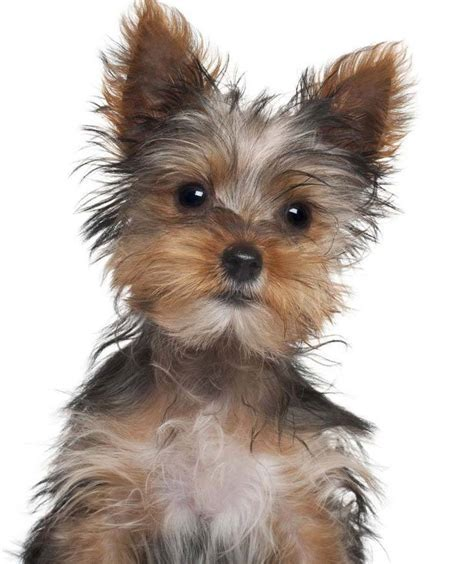 Yorkie Boo New Haircut   Dog Breeds Picture