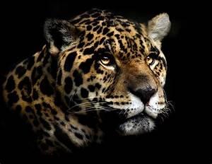 Portrait of a Jaguar Wallpaper and Background Image ...