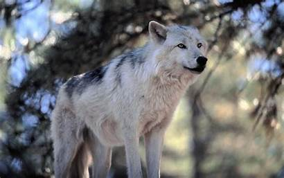 Wolf Snow Wolves Wallpapers Hd1080p Supersharp Windows
