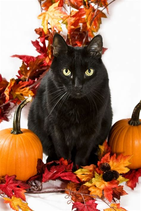 2382 Best Halloween Cats Images On Pinterest Beautiful