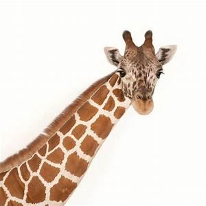 Giraffe | National Geographic  Giraffe