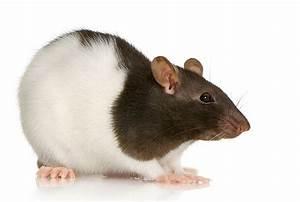 Was Fressen Ratten : gesundheitscheck gesunde ratten ein herz f r tiere magazin ~ One.caynefoto.club Haus und Dekorationen