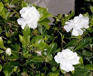 Gardenia Jasminoides Pflege : gardenie gardenia jasminoides pflege vermehrung ~ A.2002-acura-tl-radio.info Haus und Dekorationen