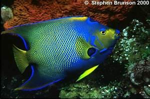 Image Gallery queen angelfish