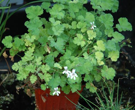 fragrant geranium 301 moved permanently