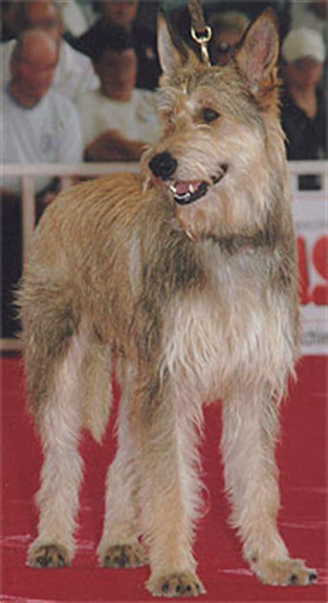 pictures   breger de picard dog