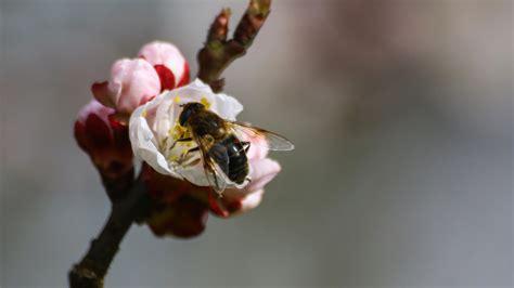 hd hintergrundbilder bestaeubung zweig biene fruehling