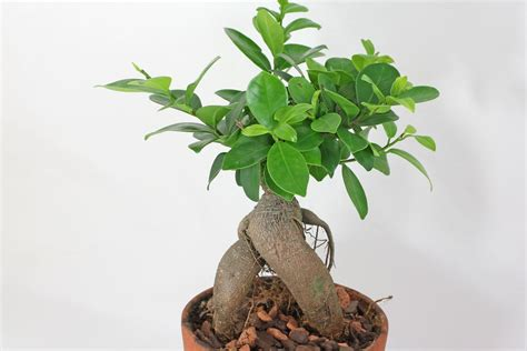 Bonsai Ficus Ginseng Pflege by Lorbeerfeige Ficus Ginseng Ficus Microcarpa