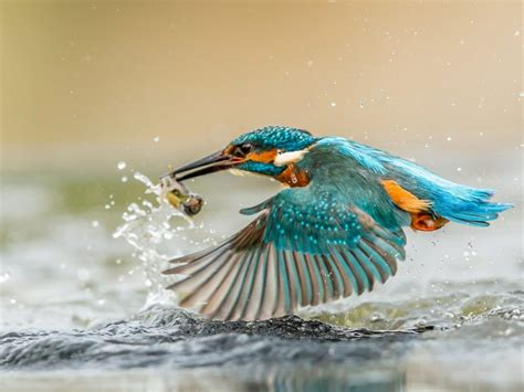 kingfisher bird  caught fish desktop wallpaper hd