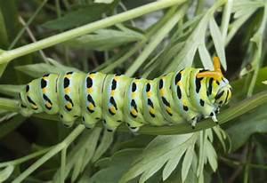 Common Caterpillars