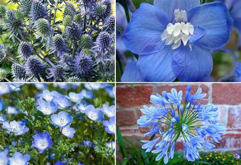 blau bluehende stauden als hingucker im garten waehlen sie