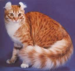 american cat cat breeds images and information