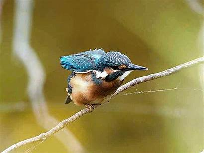 Kingfishers Animated Kingfisher Walking Perched Trees Garmin
