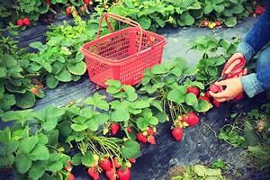 Plant De Fraise : fraisier cijos e plantation culture du fraisier cijos e ~ Premium-room.com Idées de Décoration