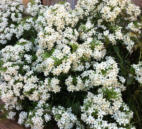 choisya ternata white dazzler deer resistant shrubs