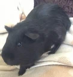 Black Guinea Pigs for Sale
