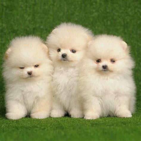Hunde süße verrückte hunde hunde videos. Super Süss Zwergspitz Welpen in Düsseldorf - Hunde kaufen und verkaufen über private Kleinanzeigen