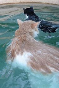 Cats Swimming in Water