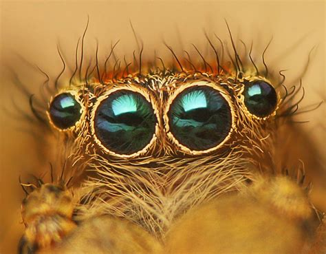 spider eyes     eyes   spider