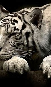 237 White Tiger HD Wallpapers | Background Images ...