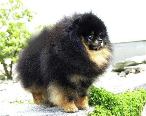 black tan pomeranians pomeranian dog breed facts care