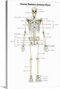Anterior View Of Human Skeletal System  With Labels Wall
