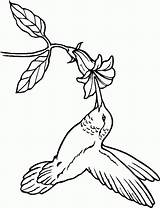 Hummingbird Coloring Pages Everfreecoloring sketch template