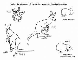 Marsupials  Kangaroos  Koalas  Etc   Coloring Page
