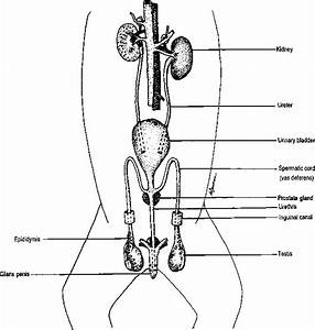Figure Of Renal System Of Female - Power Objective