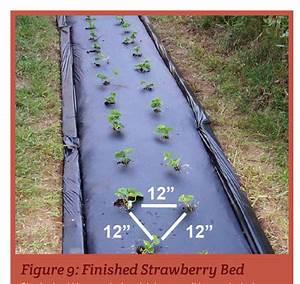 Strawberries In Schools