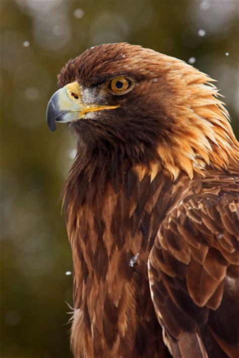 michel bury photographie de nature photography aigle