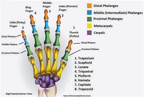 Hand Bones Wrist Mnemonics Anatomy Physiology
