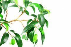 Ficus Benjamini Gelbe Blätter : ficus benjamini verliert gr ne bl tter woran liegt 39 s birkenfeige ~ Watch28wear.com Haus und Dekorationen