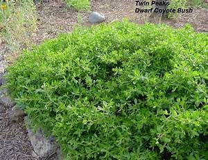 Dwarf Coyote Brush (Baccharis pilularis 'Pigeon Point' and