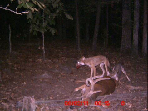 gallery frame set white whitetail deer vs coyotes is it fact or fiction