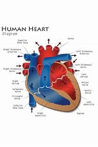 Human Heart Diagram Anatomy Diagram Educational Chart