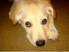 sad puppy eyes   Cute ...Sad Puppy