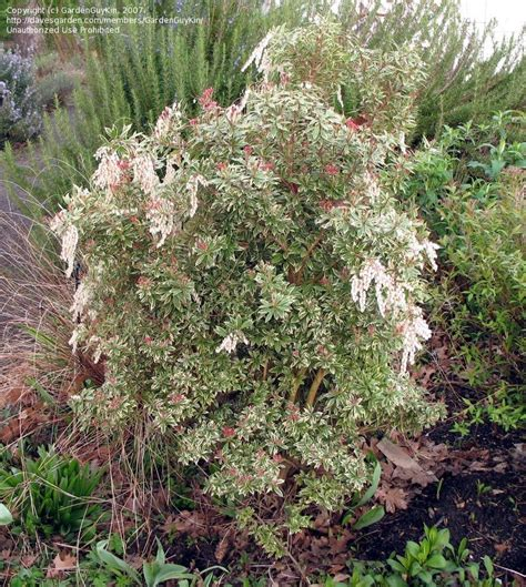 andromeda plant plantfiles pictures japanese pieris andromeda lily of the valley shrub variegata pieris