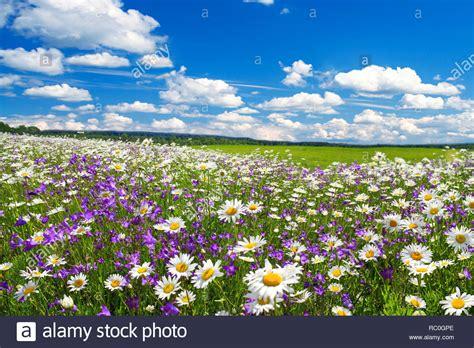 fiori selvatici viola paesaggio di primavera con la fioritura dei fiori di prato
