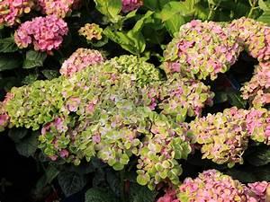 Hortensie Endless Summer Standort : standort hortensie freiland hortensie 39 incrediball 39 ~ Lizthompson.info Haus und Dekorationen
