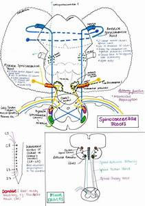 Spinocerebellar Tract