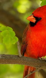 Free download Red Bird HD 1080p Wallpapers Download HD ...
